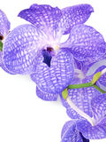 Beautiful purple vanda orchid flower close up on a white background Stock Photo