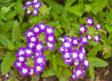 Beautiful purple Verbena flowers Stock Photo