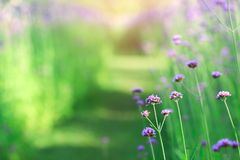Beautiful of purple verbena flowers on natural green background stock images