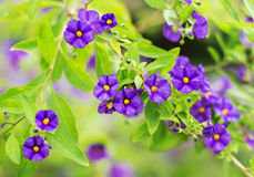 Beautiful purple violet flowers. Stock Images