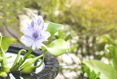 Close up purple water hyacinth flowers in blooming on blurred backgrounds,. Beautiful purple water hyacinth flowers in blooming close up on blurred backgrounds royalty free stock photography