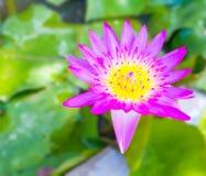 Beautiful purple water lilly Royalty Free Stock Image