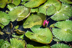 Beautiful purple water lily in the garden pond, seasonal natural Royalty Free Stock Photo