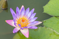 Beautiful purple water lily or lotus flower. Royalty Free Stock Photo