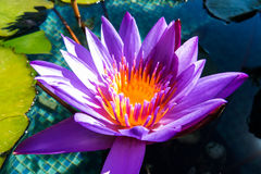Beautiful Purple Water Lily Stock Image