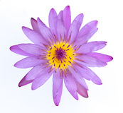 A beautiful Purple waterlily or lotus flower isolate on white ba Royalty Free Stock Photography