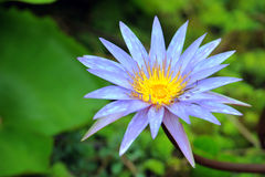 A beautiful purple waterlily or lotus flower Stock Images