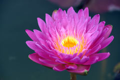 A beautiful purple waterlily or lotus flower Royalty Free Stock Photography
