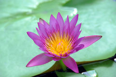A beautiful purple waterlily or lotus flower Stock Photography