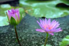 A beautiful purple waterlily or lotus flower Royalty Free Stock Photo