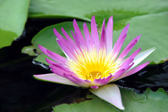 A beautiful purple waterlily or lotus flower Royalty Free Stock Image