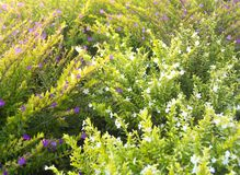 Beautiful Purple and White Flowering Hedge Garden Shrub Herb Plant. Lavender Coloured Cuphea hyssopifolia Tree. Or Known as Mexican or Hawaiian Heather royalty free stock photography