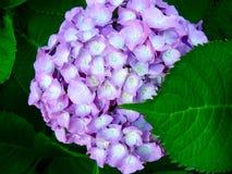 Beautiful hydrangea. Beautiful purple and white hydrangea Stock Images
