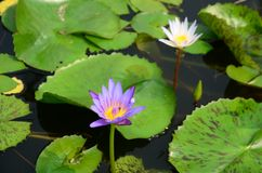 Beautiful purple and white lotus in the pool. royalty free stock photo