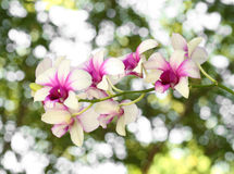 Beautiful purple white orchid flower Royalty Free Stock Photos