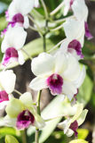 Beautiful purple white orchid flower Royalty Free Stock Images