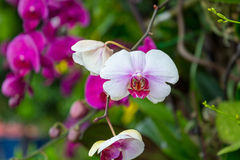 Beautiful Purple and White Orchid Flower with Green in Background Royalty Free Stock Image