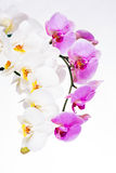 Beautiful purple and white orchid flowers Stock Photos