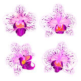 Beautiful purple and white Orchid Phalaenopsis flower  vintage set first vector closeup illustration editable Stock Image