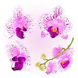 Beautiful purple and white Orchid Phalaenopsis flower  Stock Photo