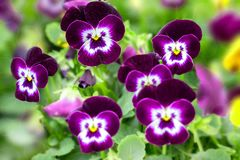 Beautiful Purple and White Pansies in Spring stock photos