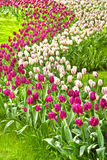 Beautiful purple and white tulips in spring Royalty Free Stock Photography