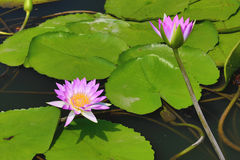 Beautiful purple with white waterlily flowers and leaves blooming in the pond Royalty Free Stock Image
