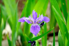 Beautiful Purple wild Orchid Royalty Free Stock Images