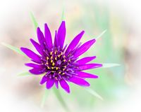 Purple Flower Isolated - Wisconsin Wildflower. A beautiful purple, Wisconsin, purple, wildflower with yellow center. Long purple petals with skikey green leaves stock photography