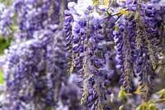 Beautiful purple wisteria flowers in spring Royalty Free Stock Images