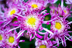 Beautiful purple yellow flowers blooming in spring.  Royalty Free Stock Images