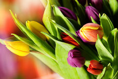 Beautiful purple and yellow tulips Stock Images