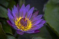 Beautiful Water Lily Close-up. Beautiful purple yellow Water Lily close-up royalty free stock image