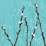 Beautiful pussy willow branches Royalty Free Stock Images