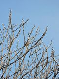 Willow bush in spring, Lithuania. Beautiful willow bush in spring and blue sky royalty free stock photos