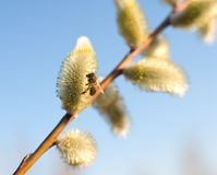 Beautiful pussy willow flowers and a bee Stock Image