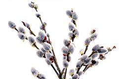 Beautiful pussy willow flowers Stock Photography