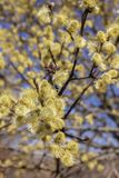 Beautiful pussy willow flowers branches. royalty free stock image