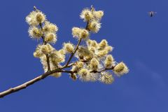 Beautiful pussy willow flowers branches. royalty free stock images