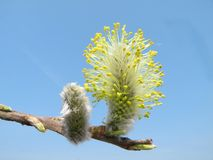Beautiful pussy- willow in spring, Lithuania Royalty Free Stock Image