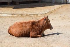Beautiful Pygmy Zebu Cow Closeup on Sun Stock Photo stock image