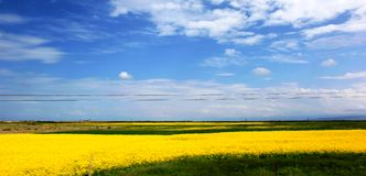 Beautiful qinghai lake -blue sky and white clouds and blooming rapeseed flowers. Beautiful qinghai lake - blue sky and white clouds and blooming rapeseed flowers royalty free stock photography