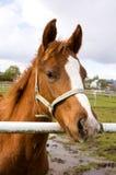 Beautiful quarter horse foal Royalty Free Stock Image