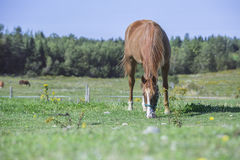 Beautiful quarter horse grazing in a field. Beautiful quarter horse gelding grazing in the pasture located in Quebec, Canada Royalty Free Stock Image