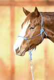 Beautiful Quarter Horse wearing a Rope Halter. Headshot of a beautiful sorrel (chestnut) Quarter Horse against an out of focus barn door, wearing a blue rope Royalty Free Stock Photography