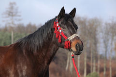 Beautiful quarter horse in winter Royalty Free Stock Image