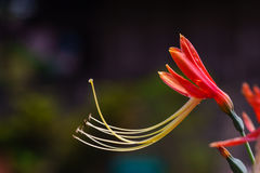 Beautiful queen lily. Closeup beautiful queen lily look fresh and soft stock photography
