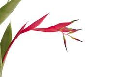 Beautiful Quesnelia bromeliad bloom isolated on white Stock Image