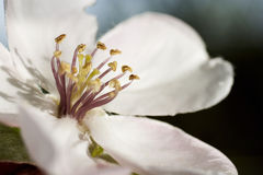 Beautiful quince white flowers on spring time. Beautiful  flowers close up detail with raindrops Stock Photo