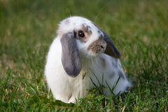 Beautiful rabbit Stock Photography
